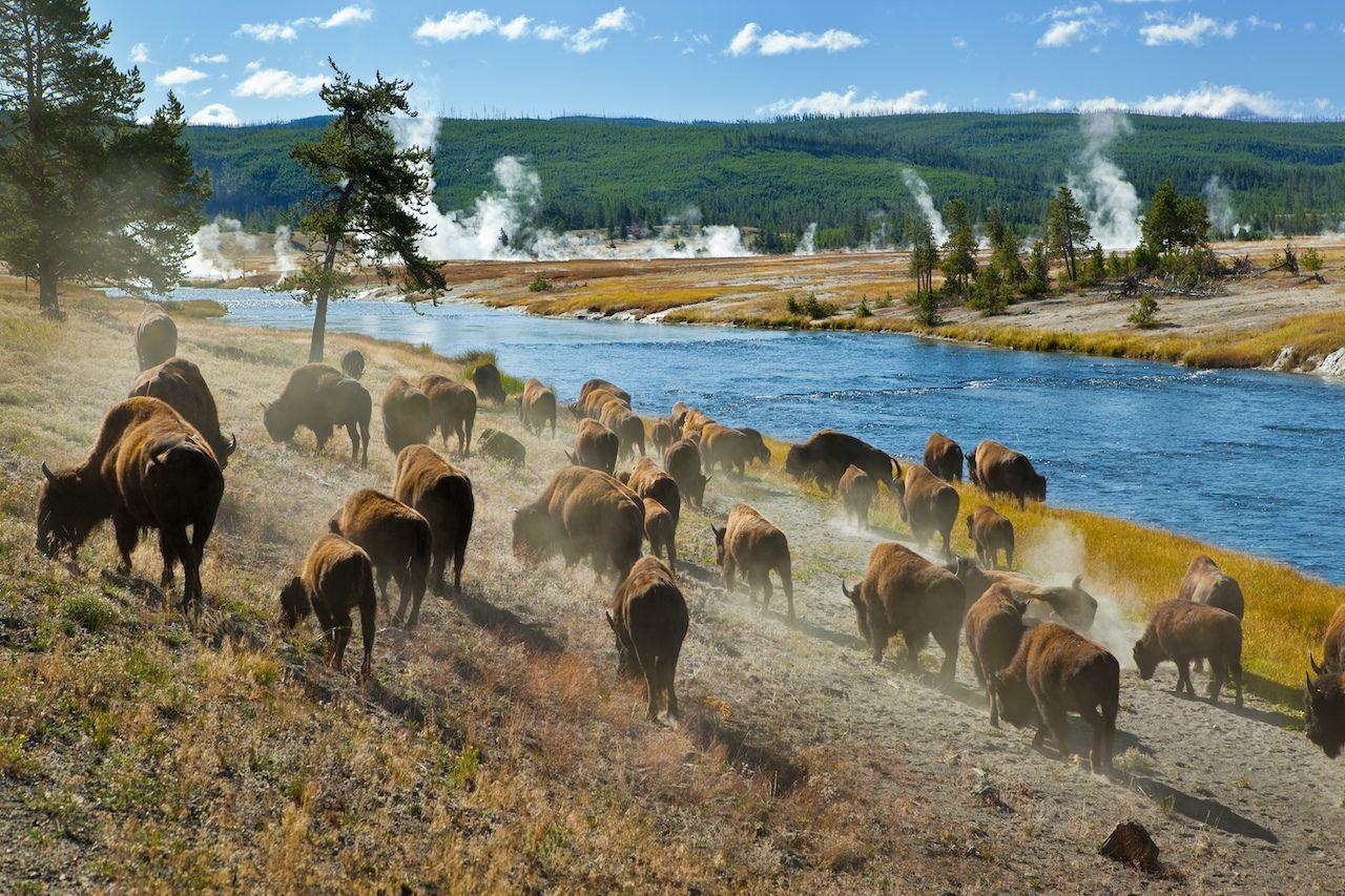 shutterstock_47311708, bison , remote work