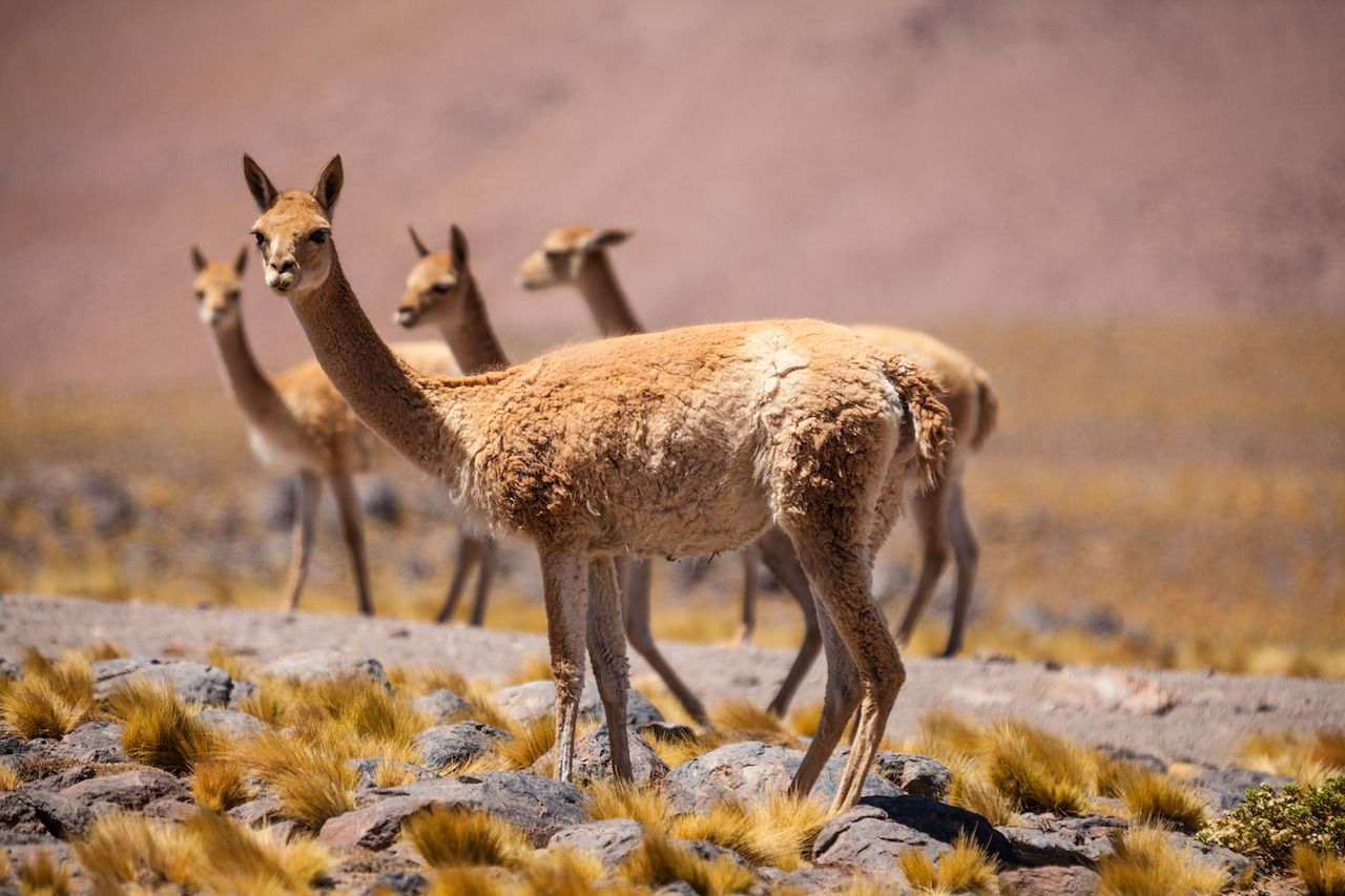 Vicunas,In,The,High,Altiplano,Of,The,Andes,,Between,Chile,Argentina's wine country