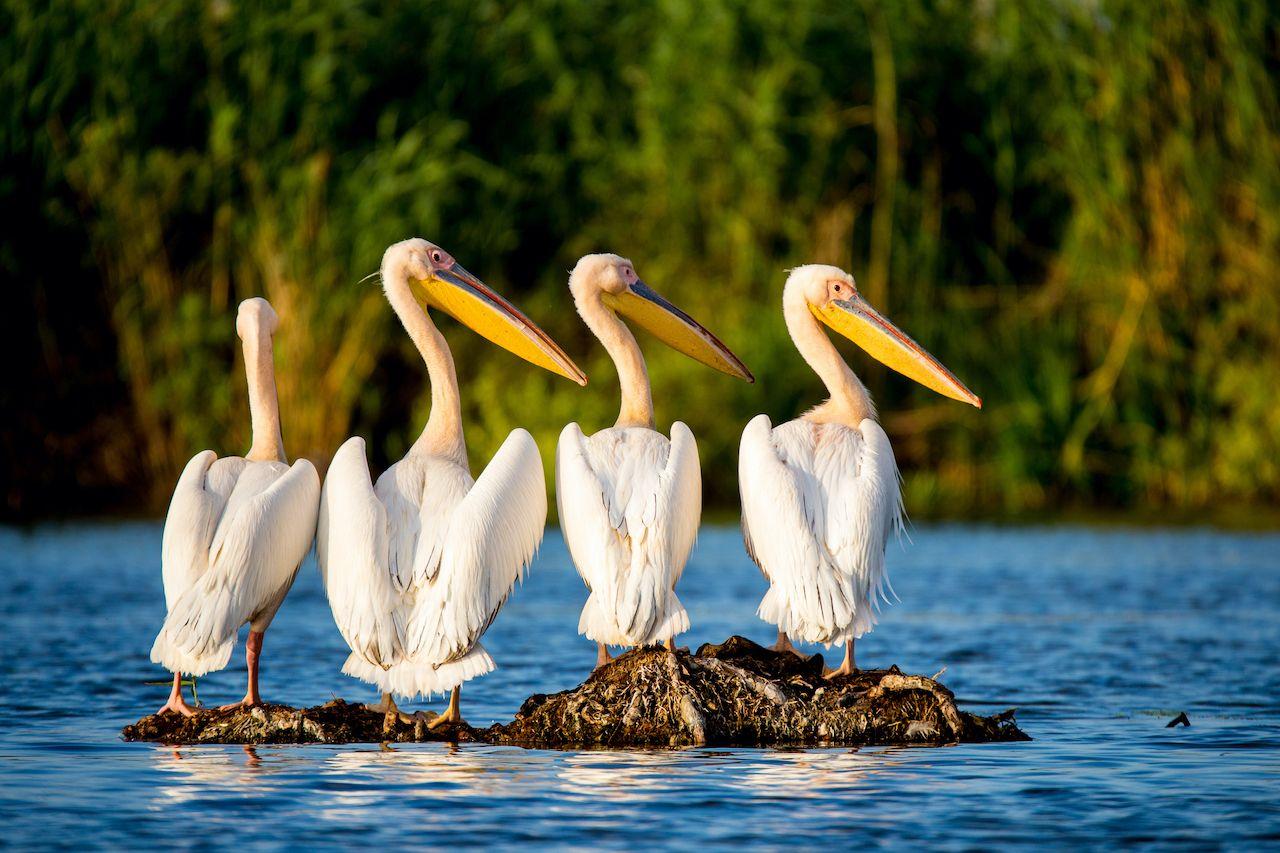 Pelican,Colony,In,Danube,Delta,Romania,paddling the Danube Delta