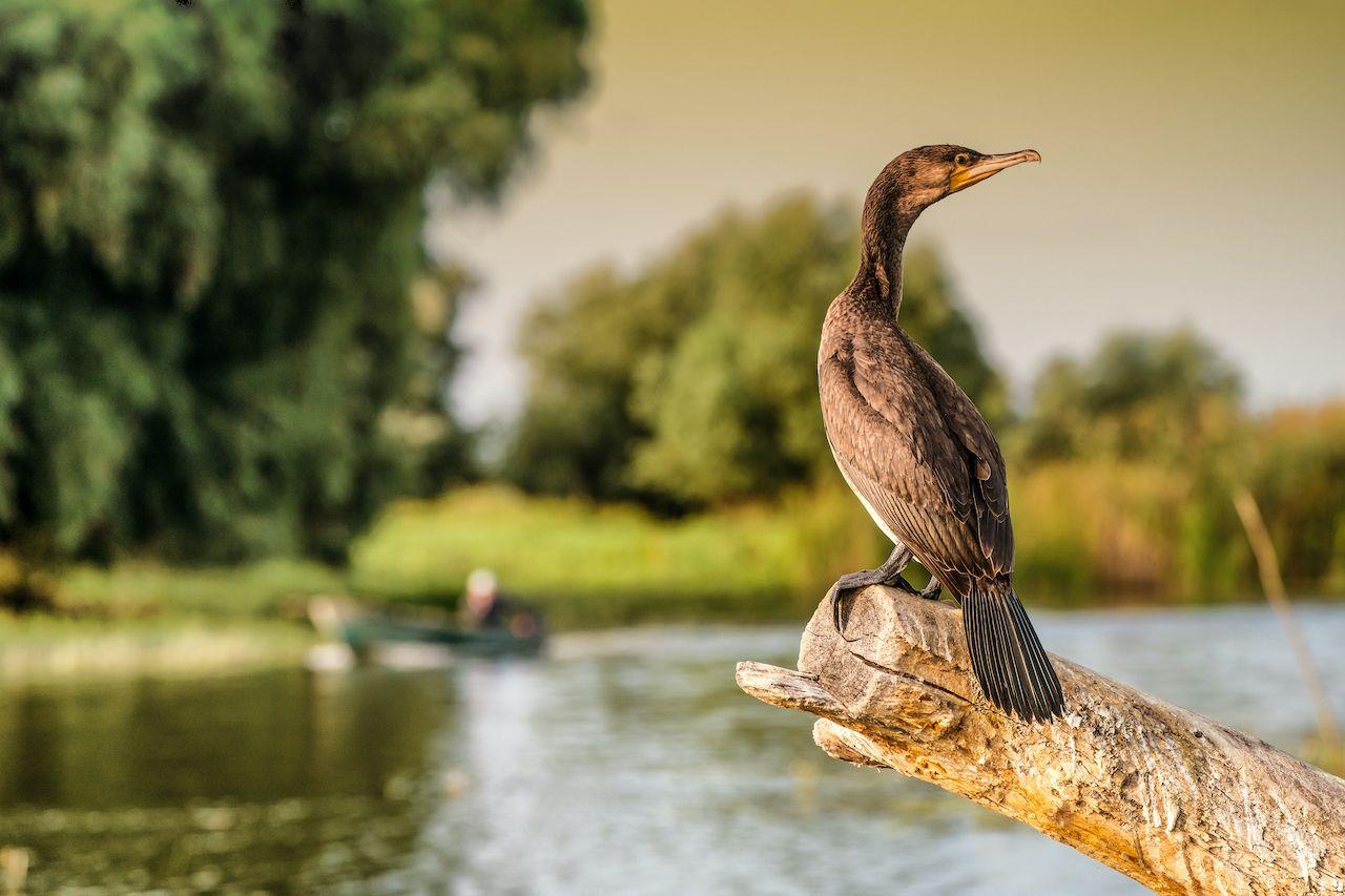 Cormorant, paddling the Danube Delta
