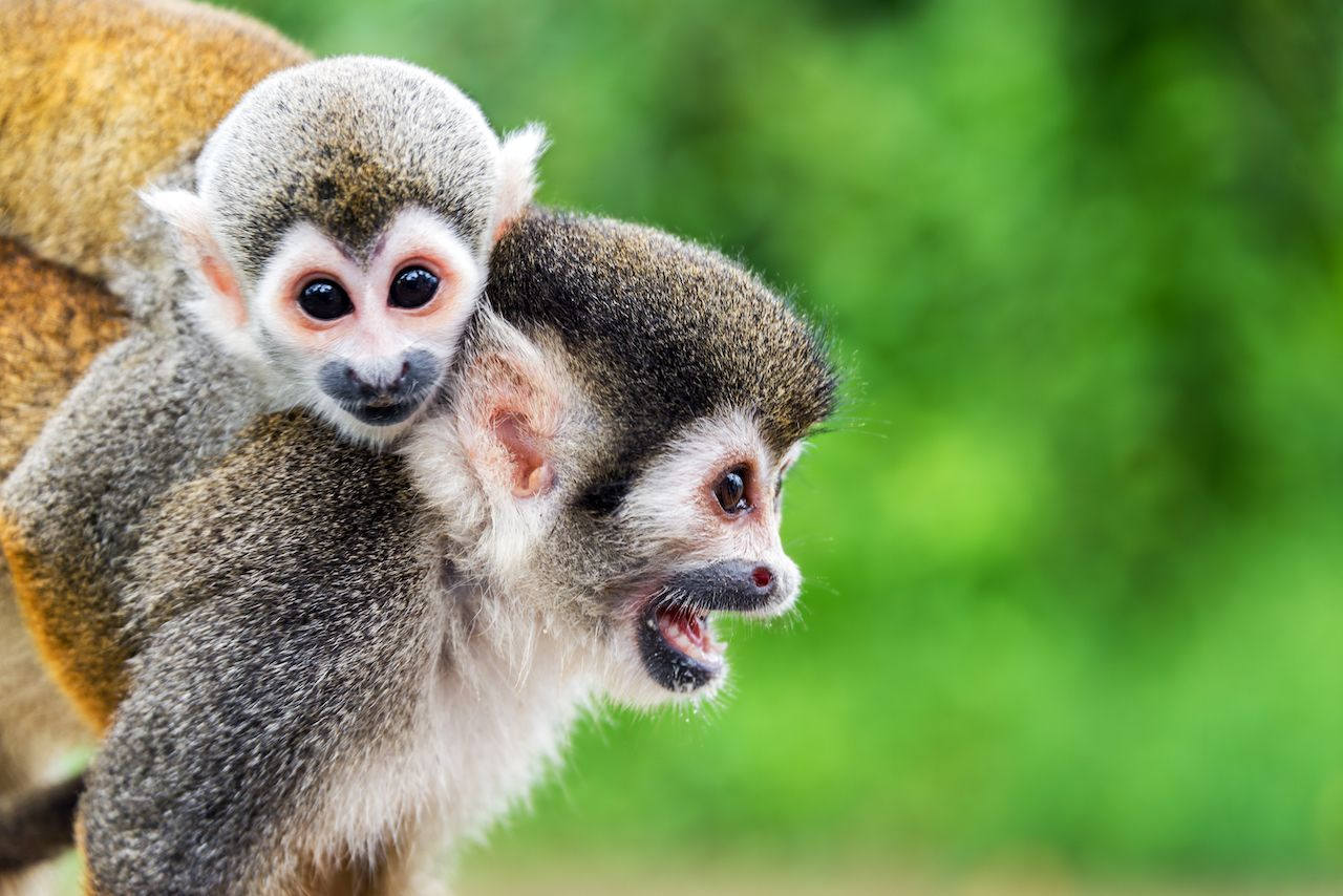 Two,Squirrel,Monkeys,,A,Mother,And,Her,Child,In,The, Colombian Amazon Rainforest