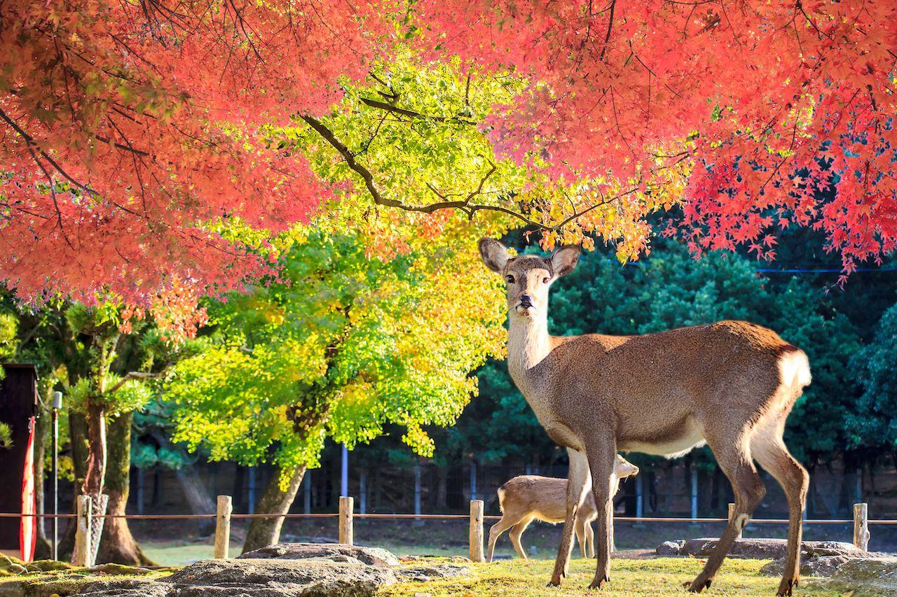 Nara,Deer,Roam,Free,In,Nara,Park,,Japan,For,Adv, Kansai