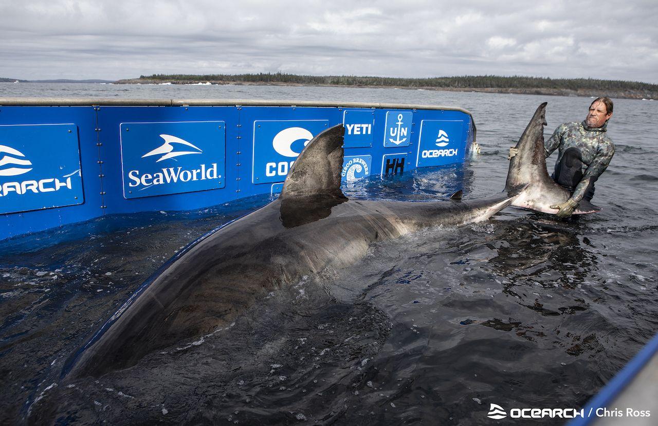 Shark-handling-more-sharks-credit-OCEARCH-Chris-Ross