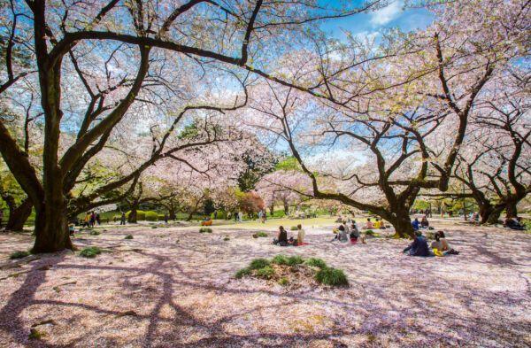 parks-in-Tokyo-ueno-cherry-1909819885