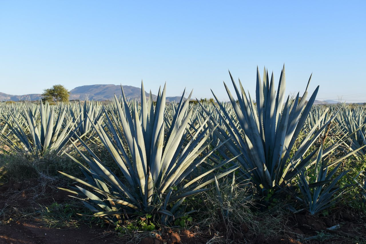 Mature,Blue,Tequilana,Weber,Agave,Plants,In,Field,,Summer,Sunny, cristalino tequila