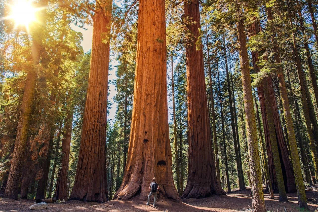 Sequoia,Vs,Man.,Giant,Sequoias,Forest,And,The,Tourist,With, Humboldt County