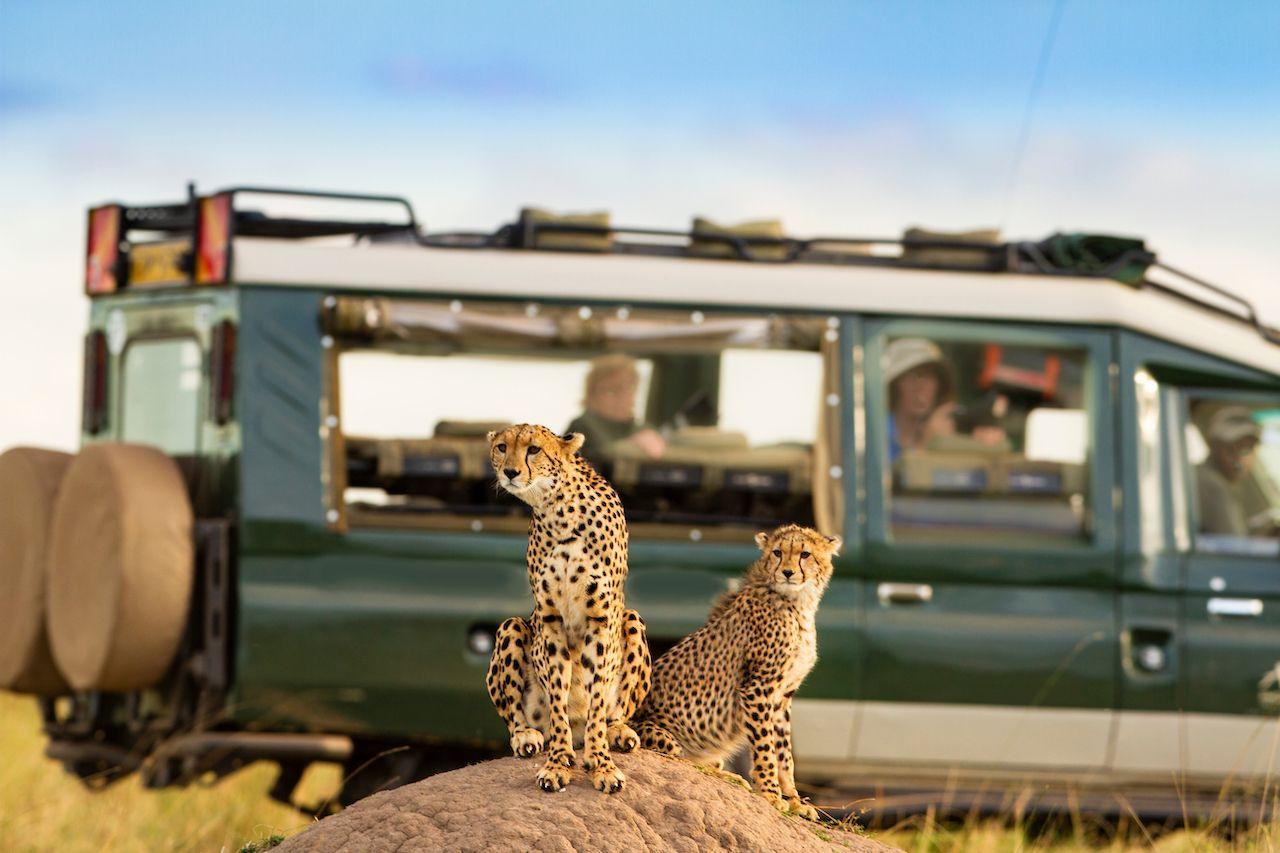 Cheetah,At,Masai,Mara,With,Onlooking,Tourist