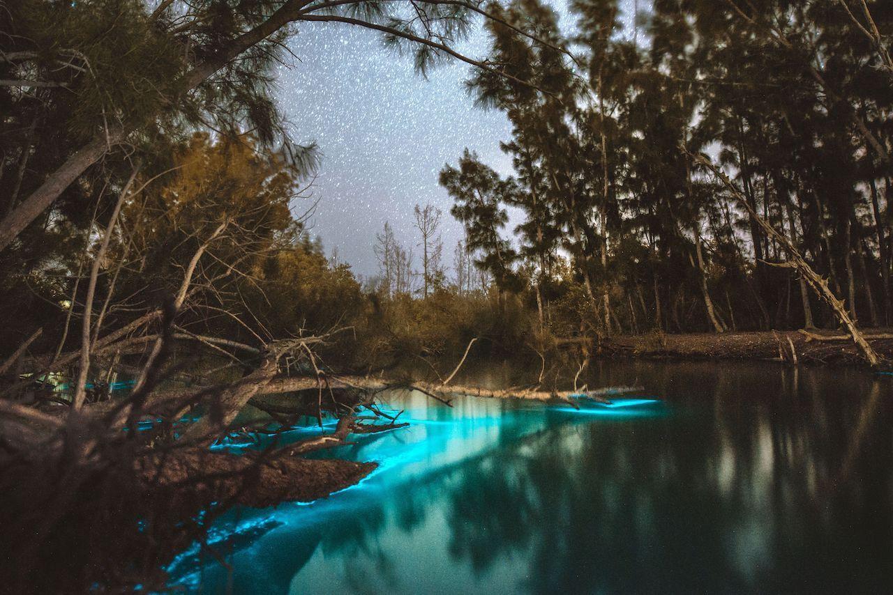 bioluminesence in Florida, blue glow amid pines