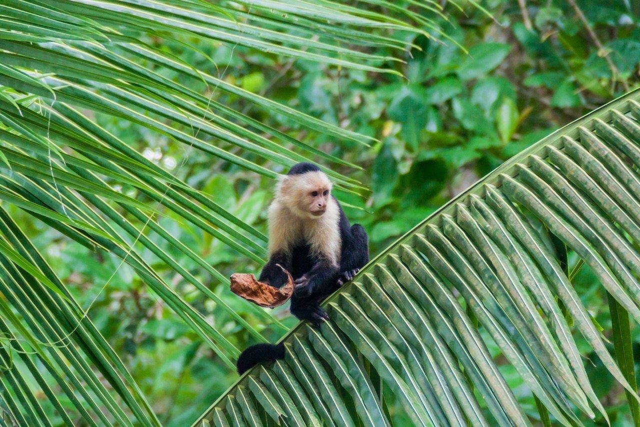 White-headed capuchin monkey (Cebus capucinus) in Cahuita National Park, Costa Rica, Cahuita Costa Rica