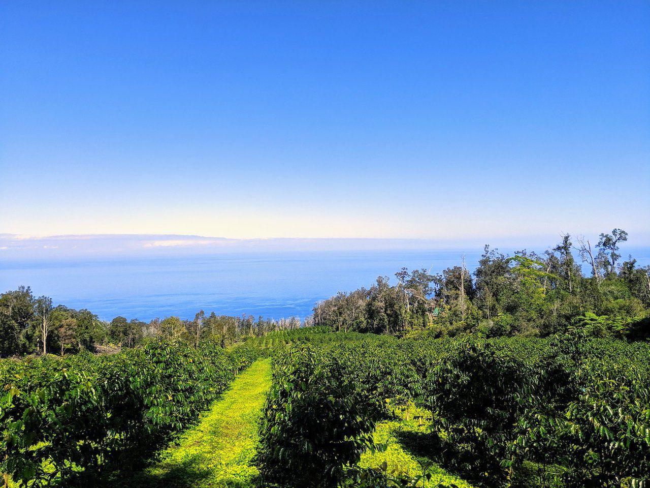View of the Hala tree Coffee Farm in Hawaii