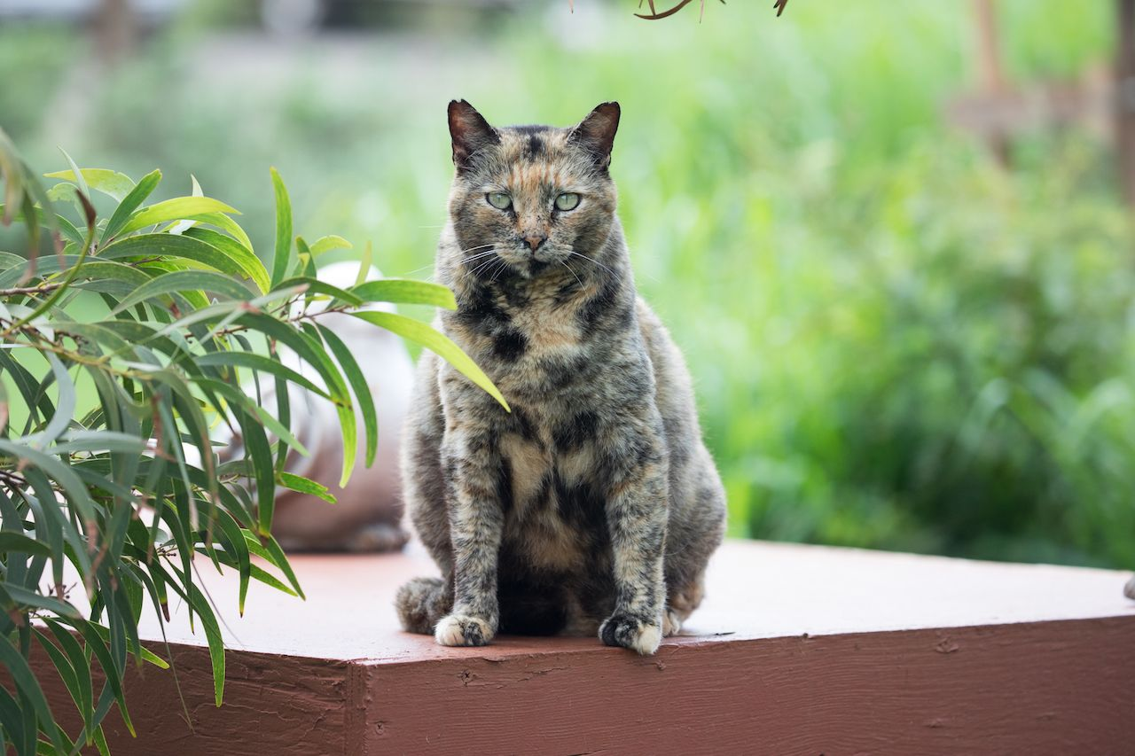 jeep by Lanai, cat sanctuary resident