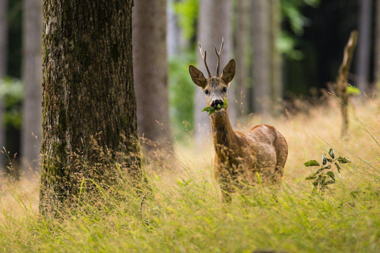 Six-point,Roe,Deer,(capreolus,Capreolus),Buck,Standing,In,The,Old