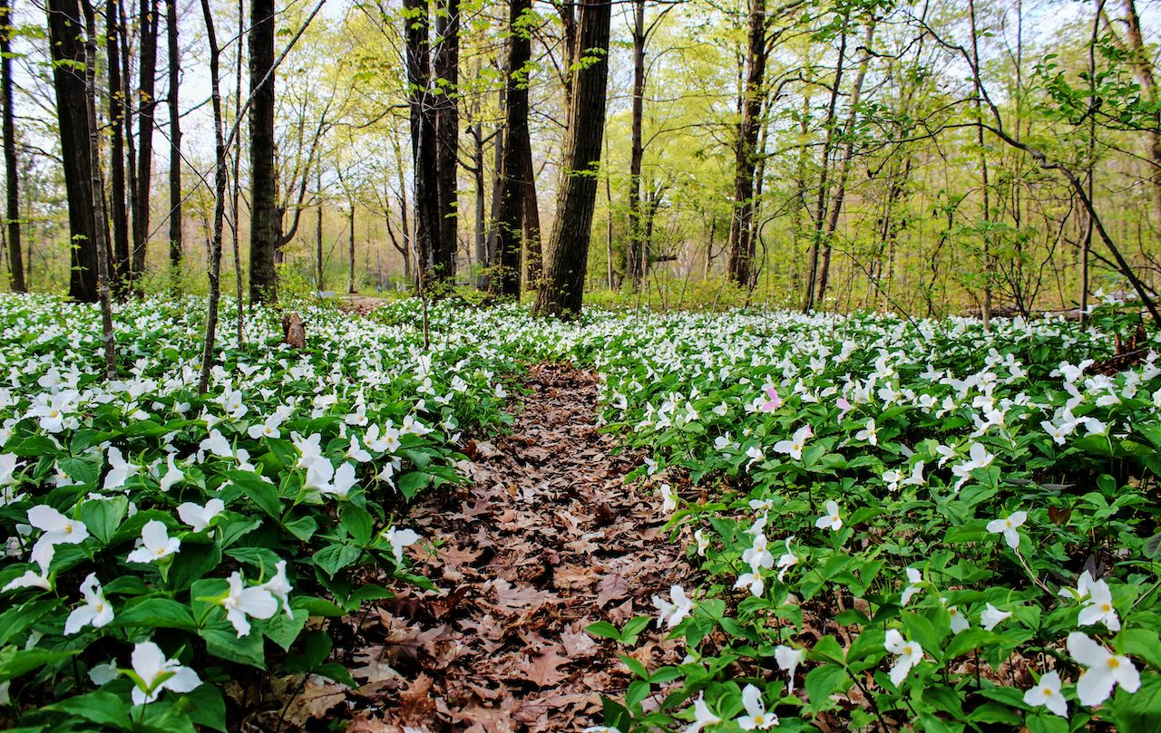 Spring,Panoramic,Landscape.,Trillium,Line,A,Forest,Trail,As,Spring