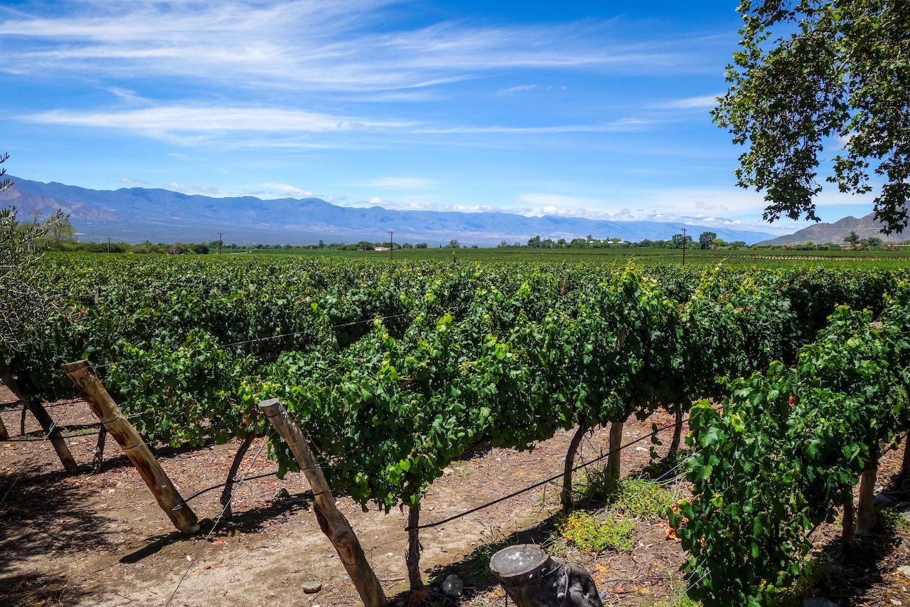 Vine,Field,Landscape,In,Cafayate,,Salta,,Argentina