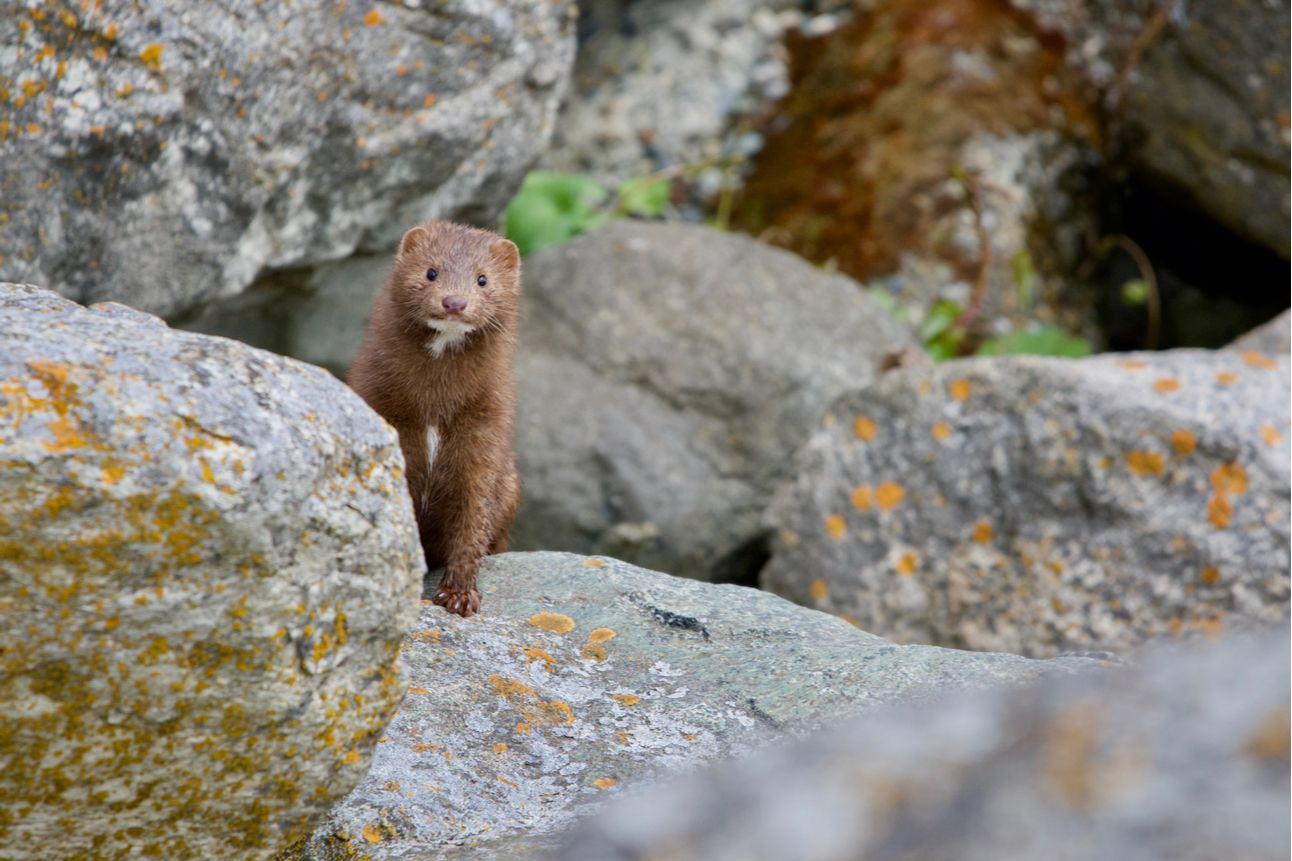 American mink peers around a boulder while hunting along the shore at Clover Point, Vancouver Island, British Columbia, British Columbia climbing