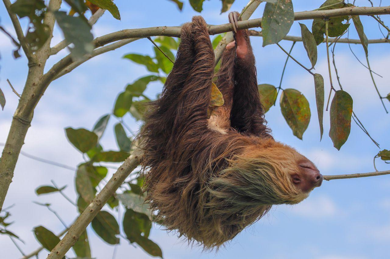 A sloth in the Cahuita, Costa Rica