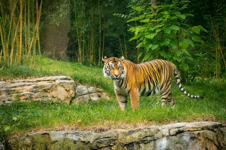 tiger at nashville zoo outdoor activities in nashville