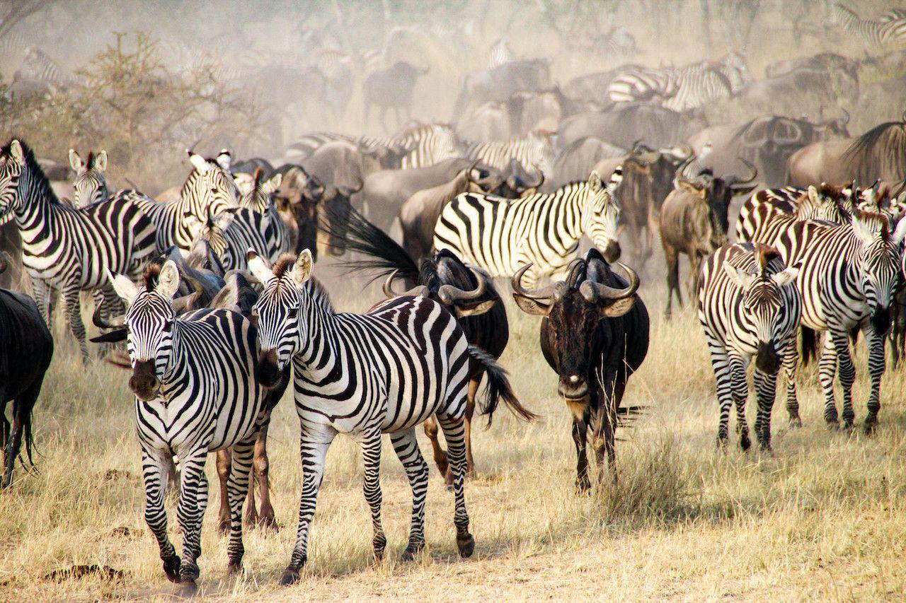 TikTok will live stream Africa's Great Migration of millions of animals