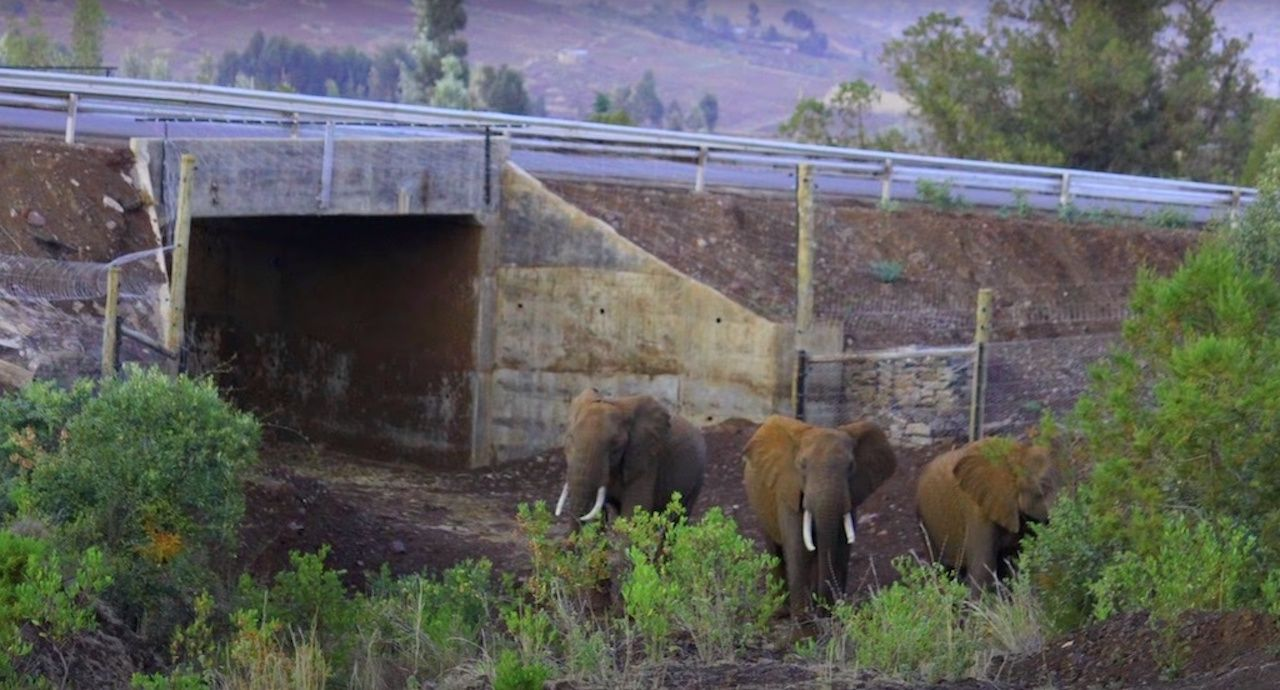 Elephants entering a wildlife crossing tunnel under a highway in Kenya