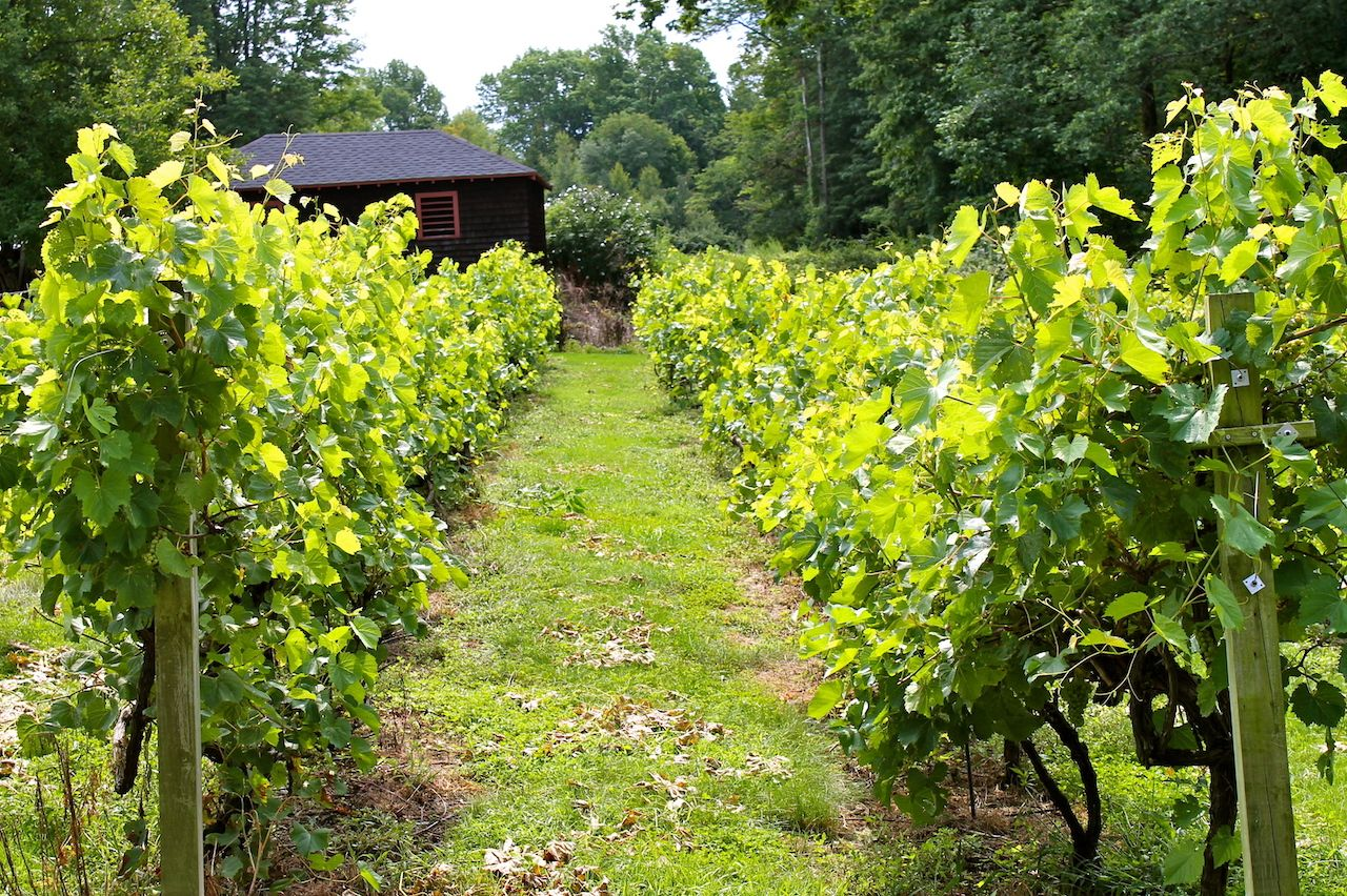 Vineyard in summer in Connecticut