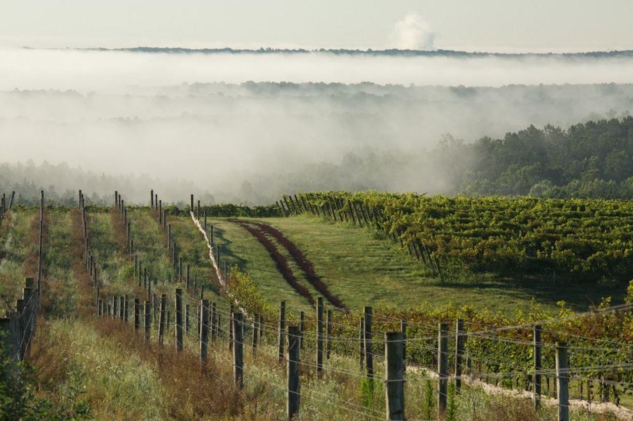 Blenheim vineyards vines