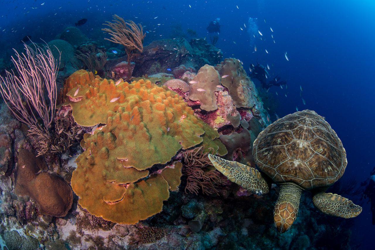 turtles underwater in caribbean