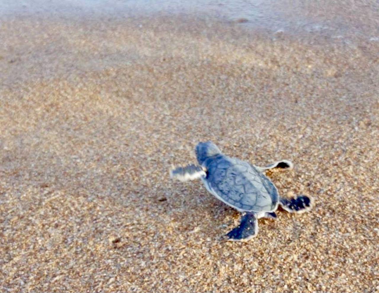 Baby sea turtle scrambles on sand towards the ocean