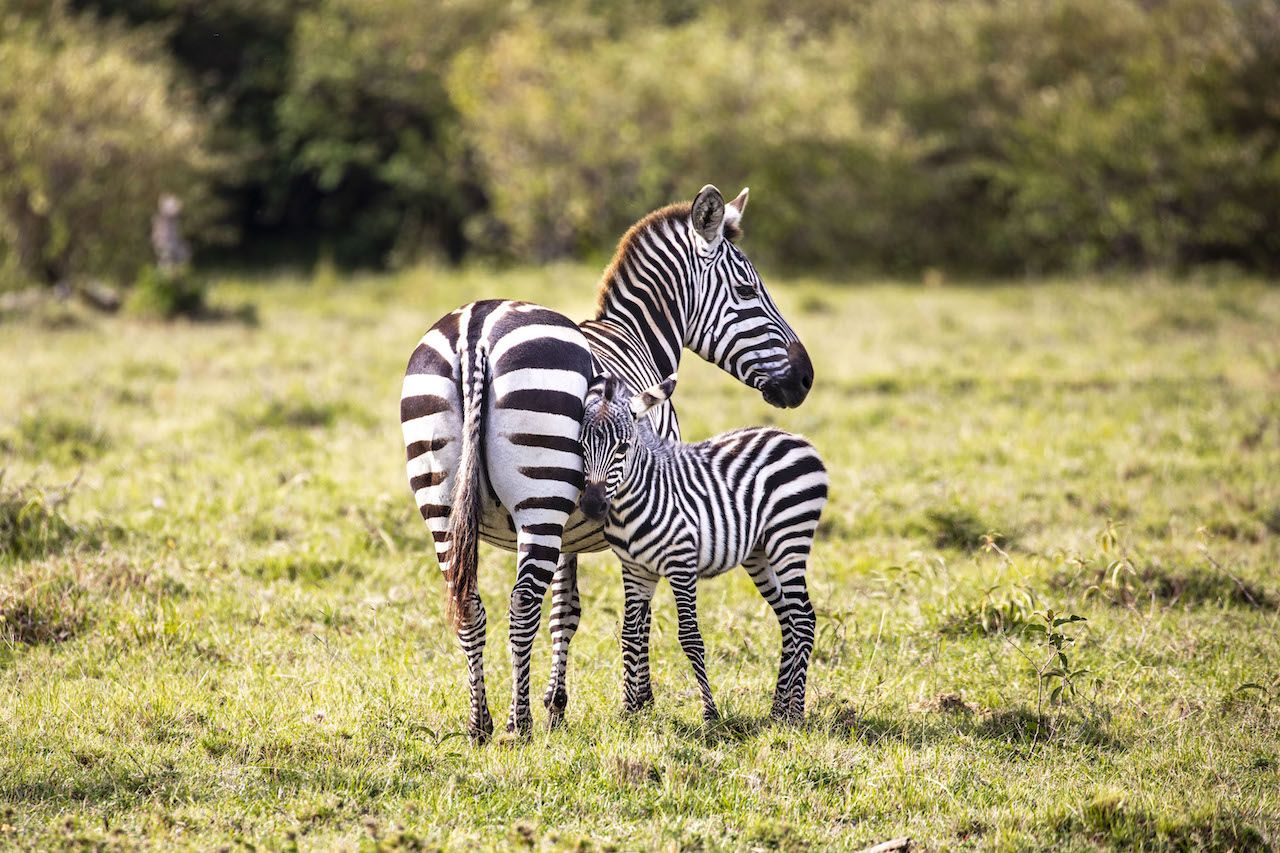 Baby zebra cuddling up to its mother