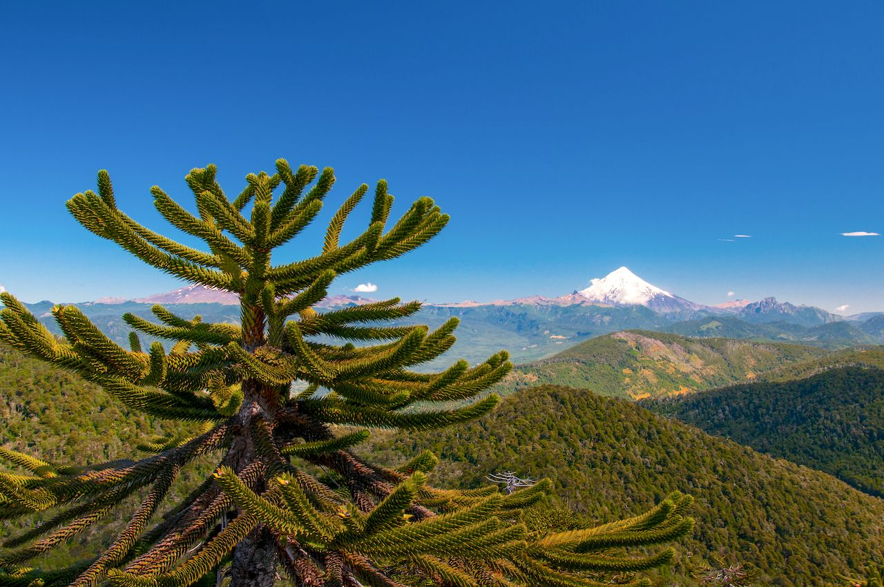 Landscape in Huerquehue National Park with volcano Lanin in the background and Araucaria tree in front in Pucon, Chile