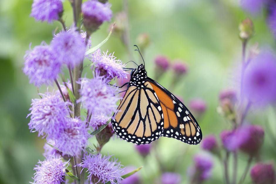 """migración de las mariposas monarca mariposa en náhuatl es """"papalotl"""""""
