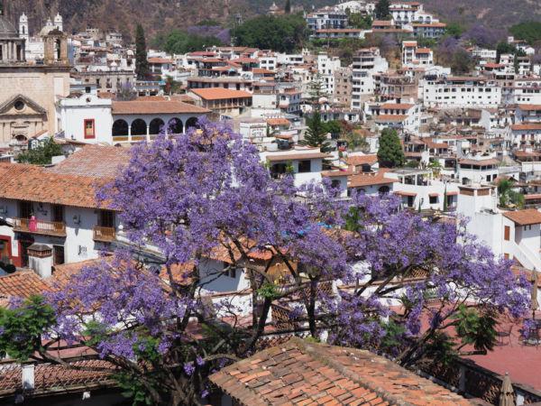 jacarandas en Taxco